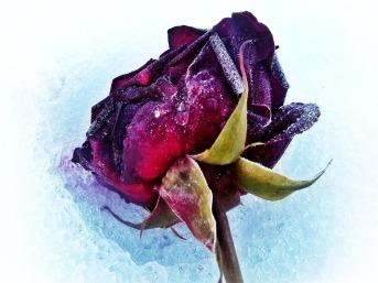 Heiraten Hochzeit - Rose im Winter